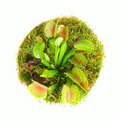 Carnivorous plant — Stock Photo