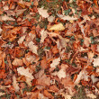Many many orange autumn leaves — Stock Photo