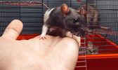 Little rat — Stock Photo