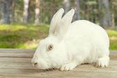 White rabbit sits outdoor — Stock Photo