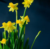 Flowers daffodils — Stock Photo