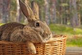 Beautiful brown rabbit — Stock Photo