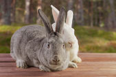 Two cute rabbits outdoor — Stock Photo
