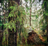 Coniferous tree — Stock Photo