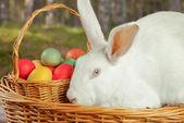 Conejo lindo éster blanco — Foto de Stock