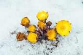Flowers Adonis among snow — Stock Photo