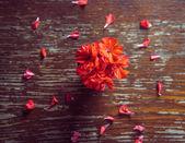 Flowers geraniums — Stock Photo