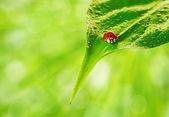 Ladybug sits on a green leaf — Stock Photo