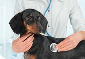 Veterinarian listens dog in a hospital — Stockfoto