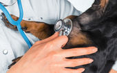Veterinarian listens dog in a clinic — Stock Photo