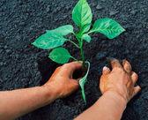 Pepper plant — Stock Photo
