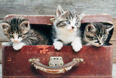 Curiosity kittens in suitcase — Stock Photo