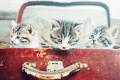 Three kittens in suitcase — 图库照片