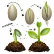 Stock Vector: Stages of plant growth.