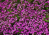 Flowerbed with pink Phlox subulate — Stock Photo