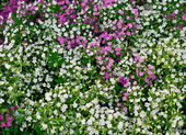 Flowerbed with white Phlox subulate — Stock Photo