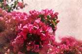 Bougainvillea bush — Stock Photo