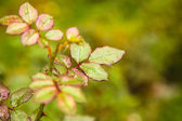 Rose leafs in the rain — Stock Photo