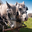 Grey Mares — Stock Photo