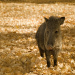 Javelina in the Leaves — Stock Photo