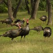 Turkey Flock — Stock Photo