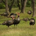 Turkey Flock — Stock Photo