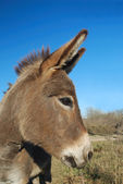 Donkey Profile — Stock Photo