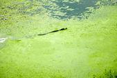 Green Alge Alligator — Stock Photo