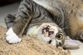 Cat Playing with Scratcher — Stock Photo