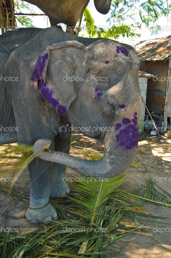 Elephant Eating Coconut Asian Elephant Eating Coconut