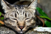 Sleeping Tabby Cat — ストック写真