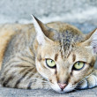Staring Tabby Cat — Stock Photo