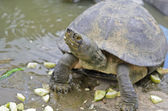 Turtle in a Pond Eating Cucumber — Stok fotoğraf