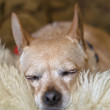 Stock Photo: Sleeping Brown Chihuahua