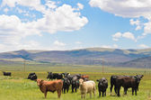 Krávy jíst trávu na velkém poli — Stock fotografie