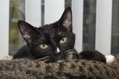 Blanco y negro esmoquin en gato atigrado — Foto de Stock