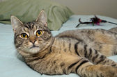 Tabby cat laying on bed — Foto Stock