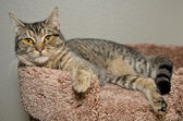 Gray tabby cat laying on soft brown bed — Stock Photo