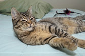 Tabby cat laying on bed — Stock Photo