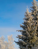 Winter trees under snow in sunny day — Stock Photo