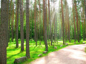Summer pine forest with sun light — Stock Photo