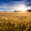 Stock Photo: Misty Sunrise Over Kansas Golden Wheat Field Ready For Harvest