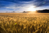 Misty Sunrise Over A Kansas Golden Wheat Field Ready For Harvest — Stock Photo