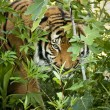 Stalking Malayan Tiger peers through the branches — Stock Photo