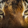 Face To Face With Powerful Malayan Tiger — Stock Photo
