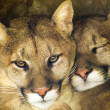 Mountain Lion Affectionate Pair Sleep Together in Cave Shadow — Stock Photo