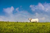 Naturliga organiska gräs utfodras frigående ko och blå himmel — Stockfoto