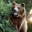 Large Grizzly Bear with setting Sun and Heavy Foilage — Stockfoto #31183327