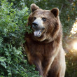 Large Grizzly Bear with setting Sun and Heavy Foilage — Stock Photo