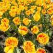 Bright yellow and red tulips — Stock Photo #34827643